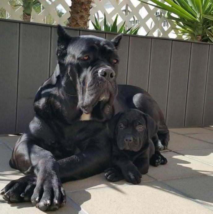 Кане корсо с щенком