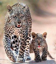 Леопард с дитем